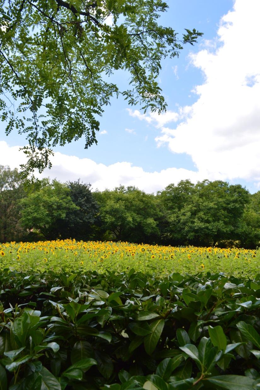 tournesol sunflower field france aveyron lacapelle livron