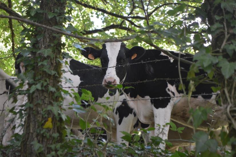 vaches cows lacapelle livron france travel